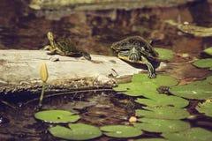 sköldpaddor två Royaltyfri Fotografi