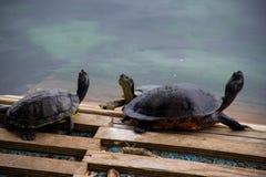 Sköldpaddorna Royaltyfri Fotografi