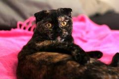 Sköldpadds- katt för skotskt veck som sitter på sängen på en rosa filt arkivfoto
