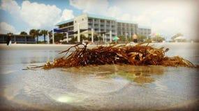 Sköljas upp på stranden havsväxt fotografering för bildbyråer