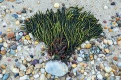 Sköljas upp på stranden havsväxt på en stenig strand Arkivfoto