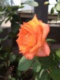 Skönhet av blomman, drottningen steg naturskönhet royaltyfria foton