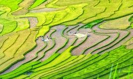 Skönhet av den terrasserade fältskördsäsongen Arkivfoto