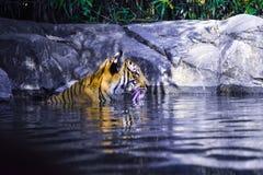 Skönhet av en tiger royaltyfri fotografi