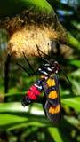 Skönhet av en vuxen kvinnlig fjäril arkivfoto