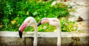 Skönhet av flamingo royaltyfria foton
