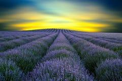 Skönhet av lavendel 4 Royaltyfri Foto