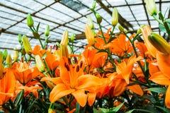 Skönhet av liljorna Royaltyfria Bilder