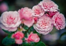 Skönhet av rosor Arkivfoton