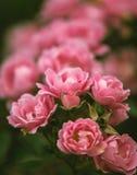 Skönhet av rosor Royaltyfria Bilder
