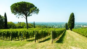 Skönhet av vingårdar i höstliga färger som är klara för skörd och produktion av vin royaltyfria foton
