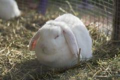Skönhet behandla som ett barn vit kanin Royaltyfri Fotografi