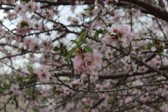 Skönhet blommar mandlar Royaltyfri Bild
