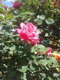 Skönhet blommar rosa färger Arkivbilder