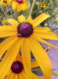 skönhet för guling för sommarblommafel fotografering för bildbyråer