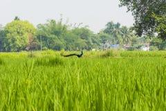 Skönhet för natur` s - påfågel på Paddy Field royaltyfri fotografi