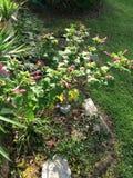 Skönhet för trädgårds- rosa färger Arkivfoton