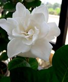 Skönhet för vit blomma Arkivbild