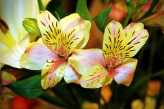 Skönhet i blommorna Royaltyfri Bild