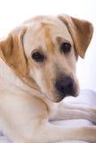 skönhet labrador arkivfoton