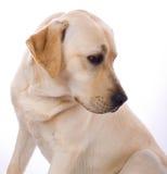skönhet labrador royaltyfri foto