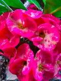 Skönhet på rosa färger Royaltyfria Foton