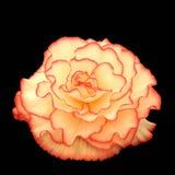 skönhetbegonia Royaltyfri Fotografi