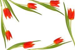 skönhetblommatulpan Arkivfoto