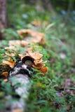 Skönhetchampinjon på dött träd Fotografering för Bildbyråer