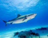 Skönheten av banden av en Tiger Shark i Bahamas arkivbild