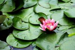 Skönheten av blommande lotusblomma i sommarsäsong royaltyfri bild