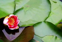 Skönheten av blommande lotusblomma i sommarsäsong arkivfoton