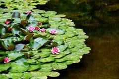 Skönheten av blommande lotusblomma i sommarsäsong fotografering för bildbyråer