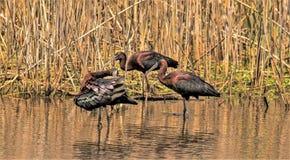 Skönheten av den glansiga ibits royaltyfri fotografi