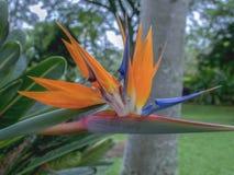 Skönheten av en exotisk fågel av paradisblomman arkivfoto