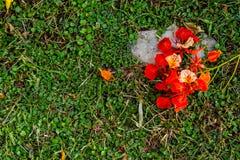 Skönheten av en röd blomma eller Caesalpiniapulcherrima L Strömbrytare royaltyfri foto