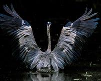 Skönheten av Grey Heron royaltyfri bild