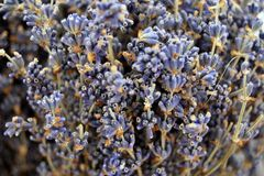 Skönheten av lavendelblommor Royaltyfri Bild