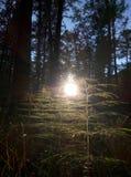 Skönheten av skogarna av Sibirien Arkivfoto