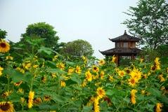 Skönheten av solrosen i trädgård Arkivbilder