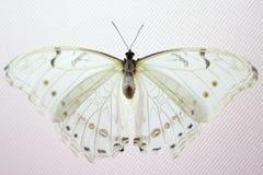 Skönhetfjäril i natur arkivfoto