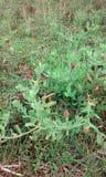 Skönhetfrämlinggräs royaltyfria bilder
