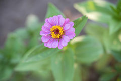 Skönhetlilablomma i trädgården Royaltyfria Bilder