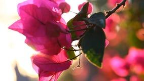skönhetnaturegenheten rotar treen Solnedgång och blommor Bougainvilleablommor blomstrar med en varm sommarsolnedgång arkivfilmer