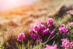 Skönhetrhododendron blommar i höga berg royaltyfri foto