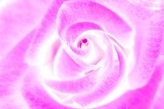 Skönhetrosa färgros, abstrakt blomma Arkivfoto