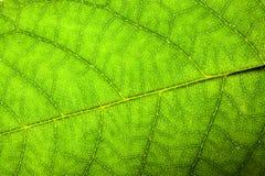 Skönhetsflar för spår för åder för blad för midrib för naturligt grönt för yttersidastruktur för blad nytt detaljerat ojämnt för  royaltyfri bild