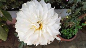 Skönhetsymbol för vit blomma av fred royaltyfria bilder
