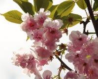 Skönhetvårblommor Royaltyfria Bilder