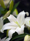 skönhetwhite Arkivfoto